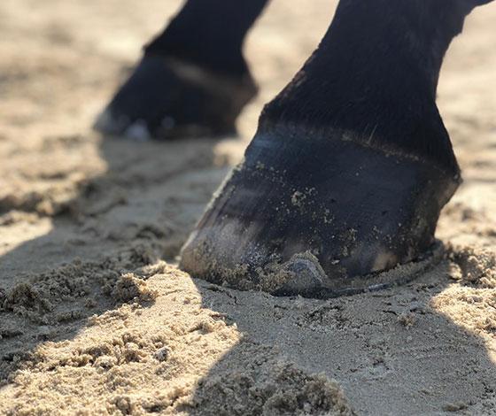 Pferdehufe im Sand Springplatz