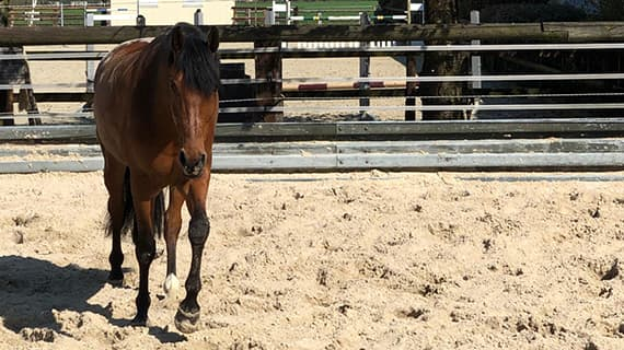 braunes pferd beim auslauf bei stresan