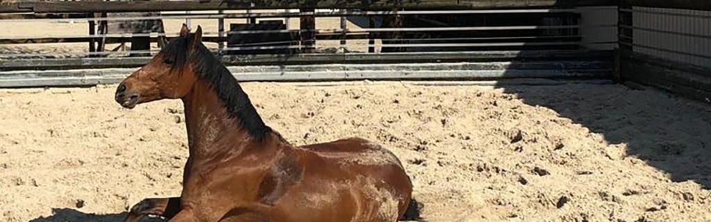 braunes pferd liegt auf sand fuer paddock boeden