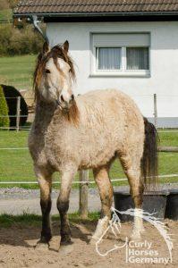 curly horse für pferdehaarallergiker