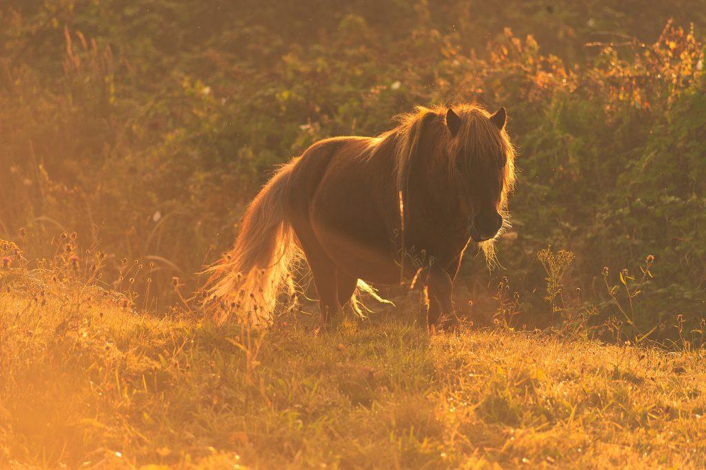 Pony im Sommer
