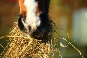 Heu als Futtergrundlage von Pferden